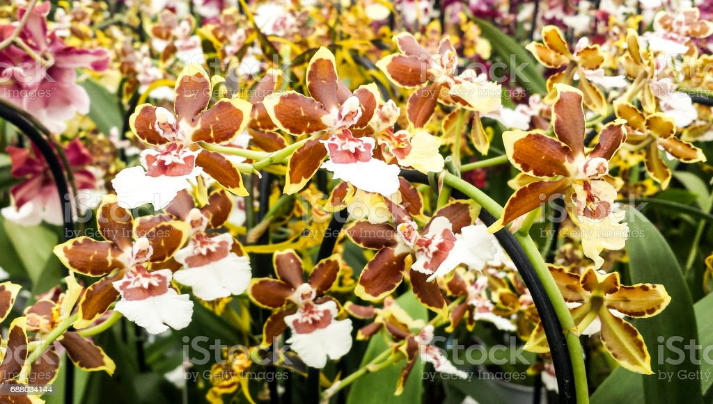 Wildcat orchid. Cambria Colmanara, wildcat yellow butterfly. Orchid in flower. Oncidium hybrid. stock photo