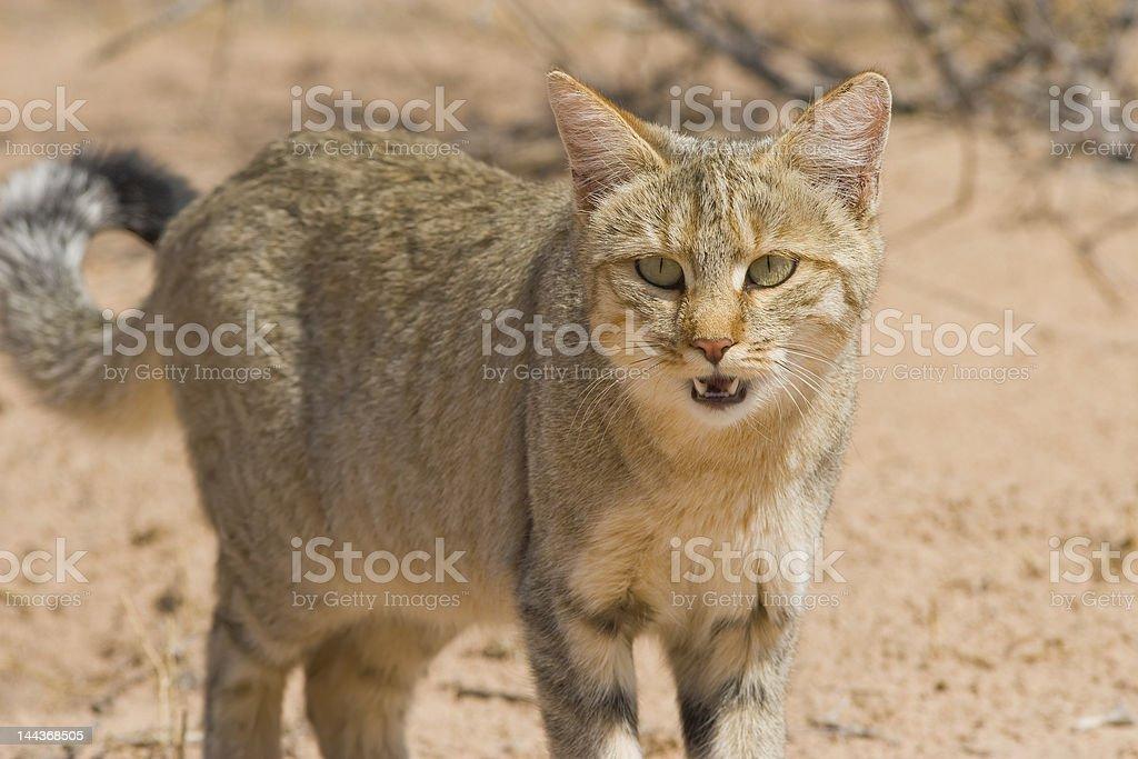 Wildcat royalty-free stock photo