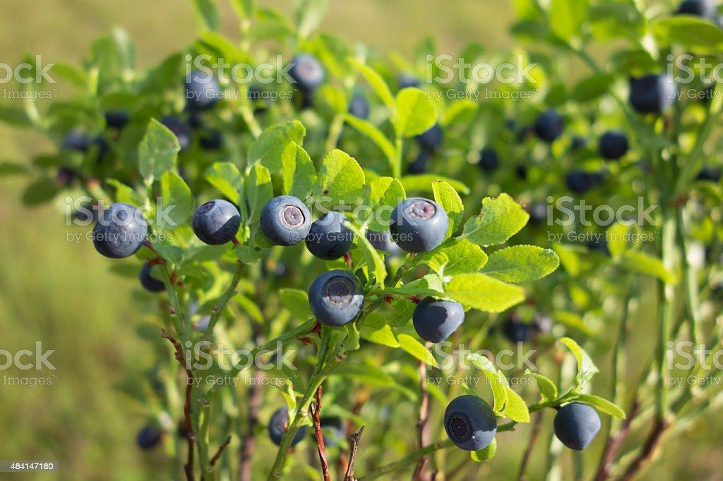 Wilde Blueberries stock photo