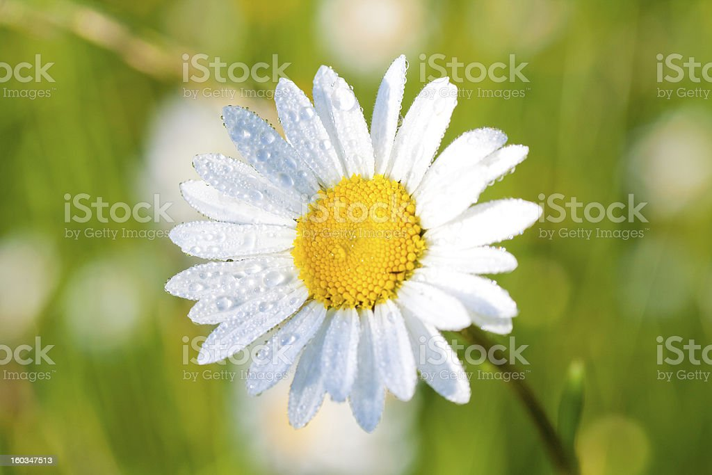 Wilde Daisy Close-Up With Dew royalty-free stock photo