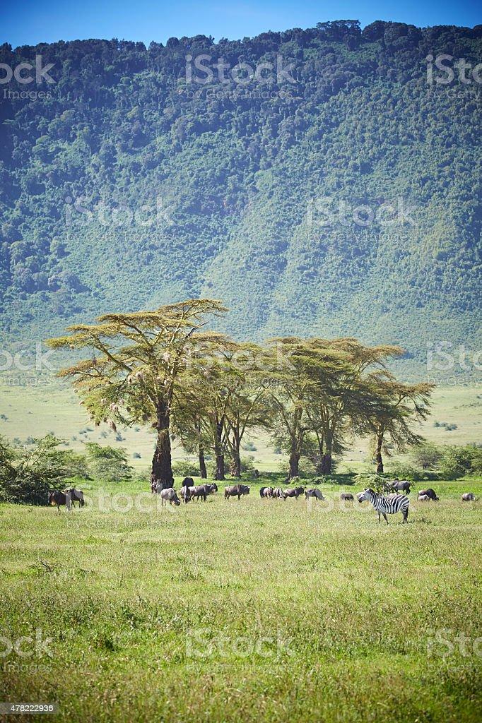 Wildebeast, zebra in the Ngorongoro crater. stock photo