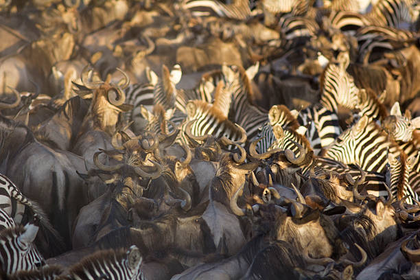 Wildebeest and zebra stampede