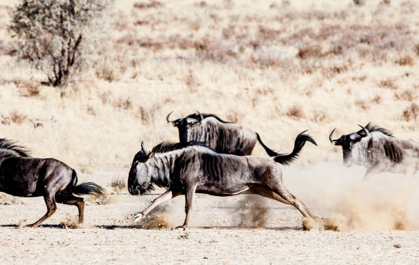 Wildebeest antelope playing and fighting in the Kalahari, South Africa A herd of wildebeest antelope, also known as gnus, chase each other in the Kgalagadi game park in South Africa. wildebeest running stock pictures, royalty-free photos & images