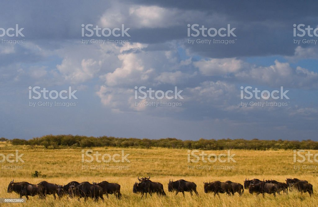 Wildebeest are following each other in the savannah. stock photo