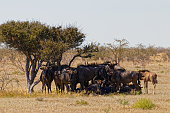 A family herd of wildebeest resting in a little shade, Etosha National Park, Namibia.