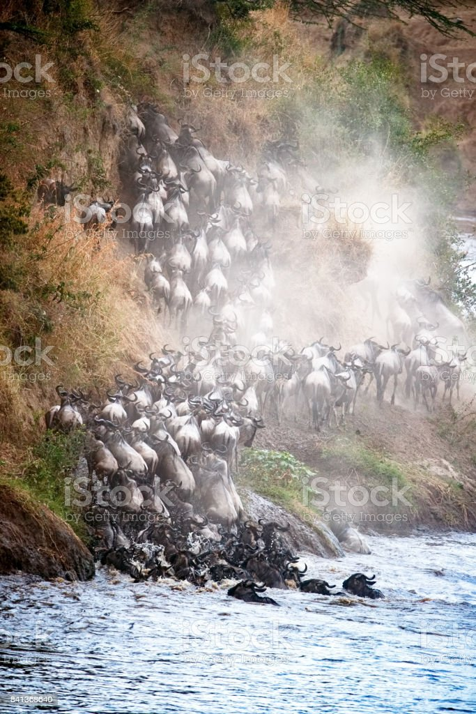 Wildebeest Climbing Up Mara River Bank stock photo