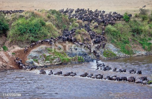 A herd of Wildebeest crossing the Mara River, Kenya