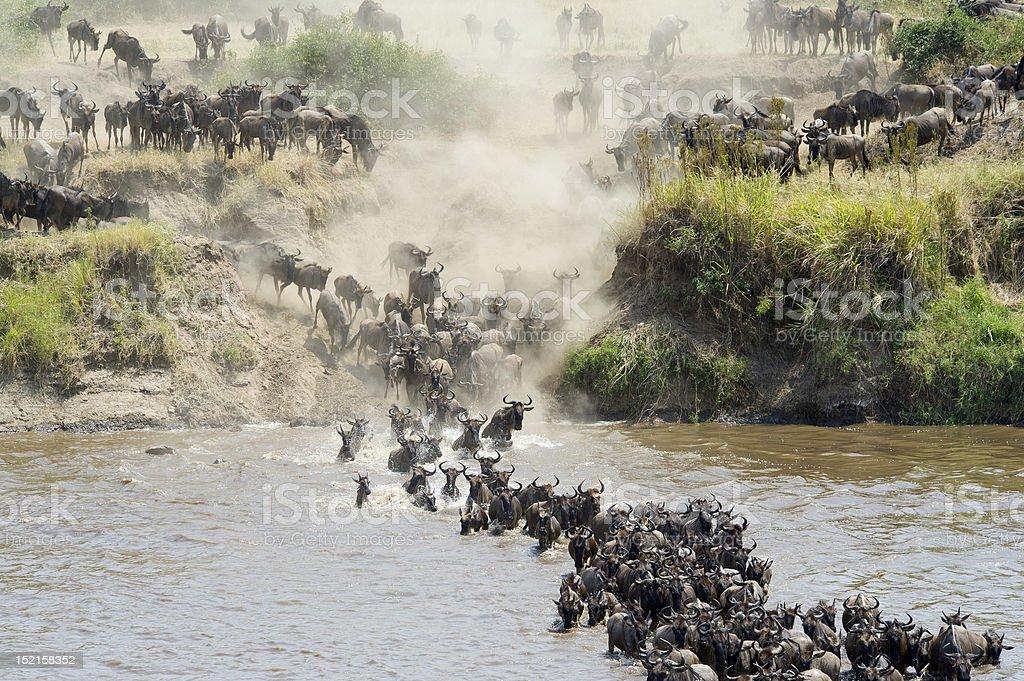 Wildebeest crossing stock photo