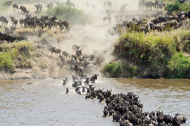 Wildebeest crossing a group of wildebeest crossing the Mara river in northern Tanzania, Africa wildebeest running stock pictures, royalty-free photos & images