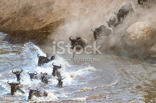 Wildebeest crossing the Mara River during the annual Great Migration. Every year approximately one and a half million wildebeest make this trecherous journey between Tanzania and Kenya