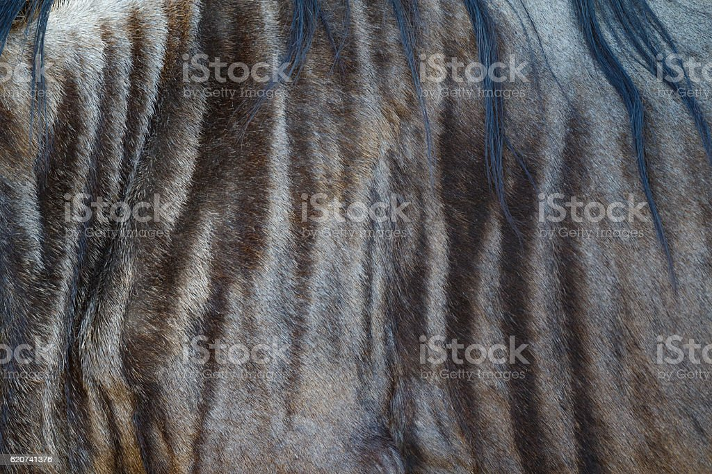 Wildebeest Fur Close Up stock photo