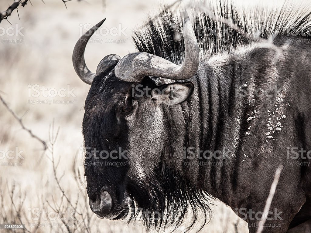 Wildebeest gnu profile stock photo