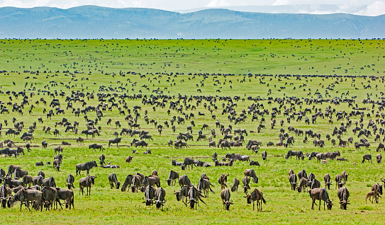 Wildebeest Herd, Connochaetus taurinus, Serengeti National Park, Tanzania, East Africa, Migration
