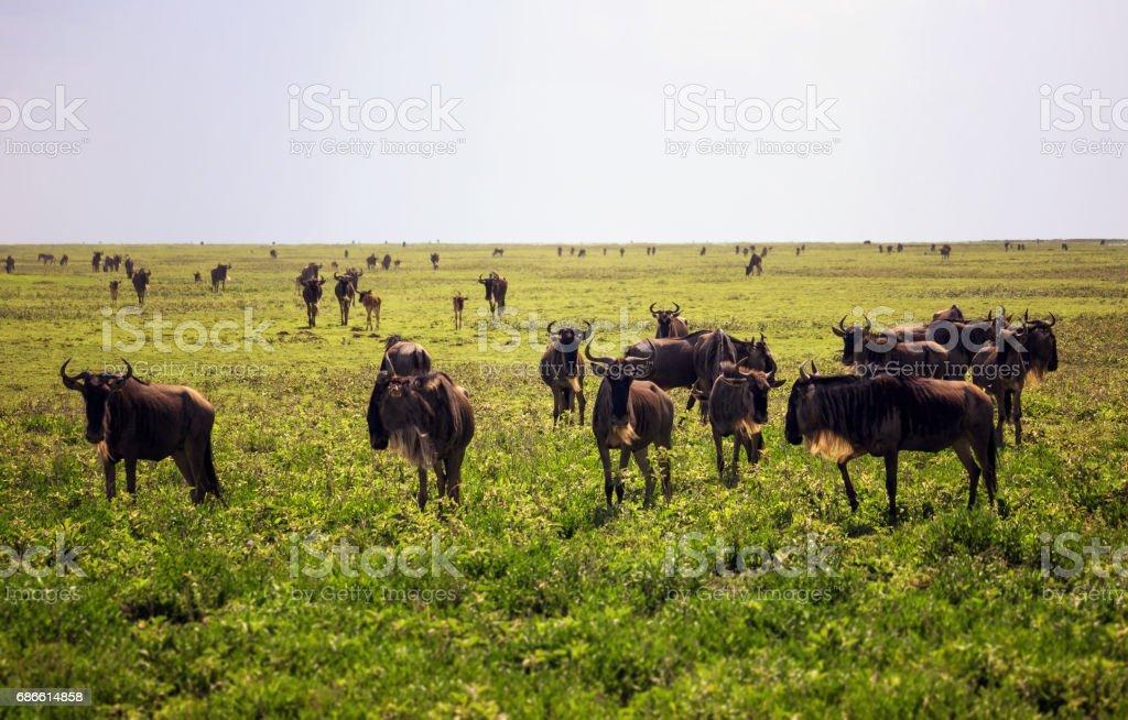 Wildebeest herd in savannah royalty-free stock photo