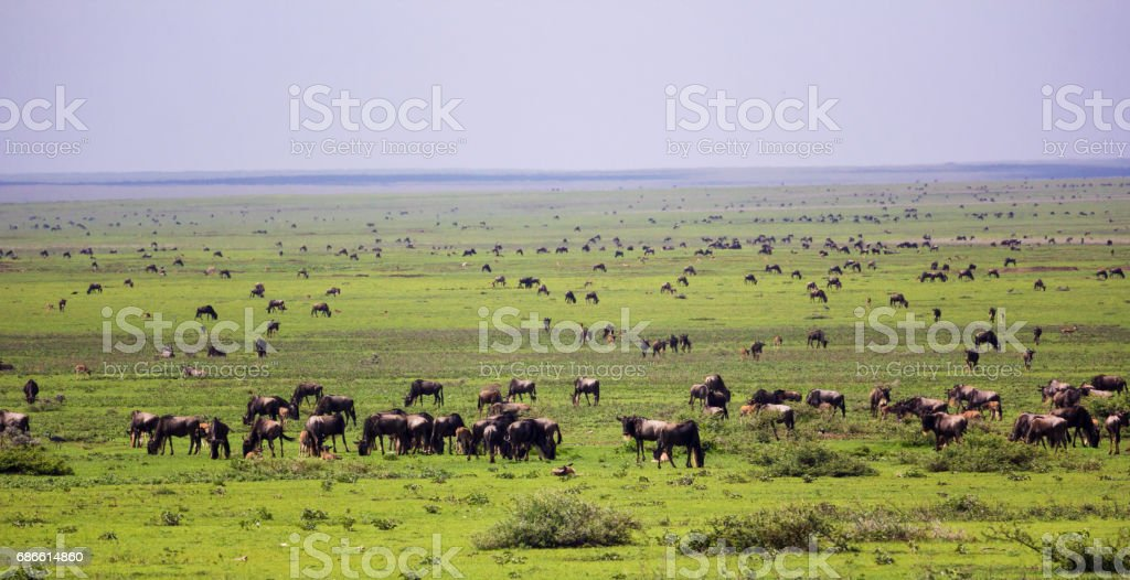 Wildebeest herd in savannah Lizenzfreies stock-foto