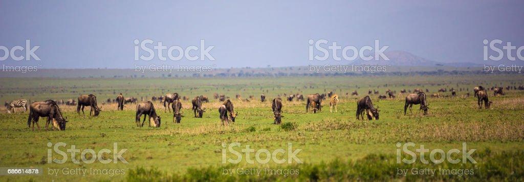Wildebeest herd in savannah Lizenzfreies stock-foto
