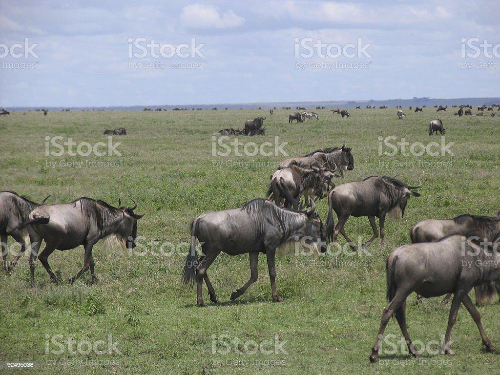 Wildebeest herd in the Serengeti royalty-free stock photo