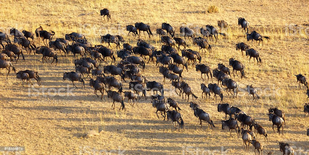 Wildebeest Herd Migrating Across the Serengeti stock photo