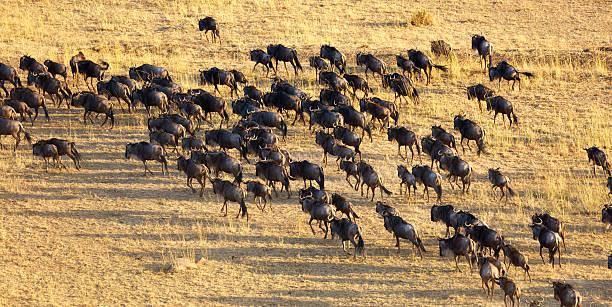 Wildebeest Herd Migrating Across the Serengeti Wildebeest Herd  wildebeest running stock pictures, royalty-free photos & images
