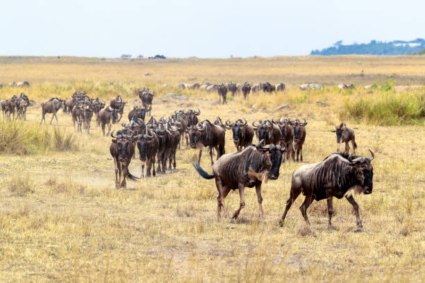 Wildebeest Herd Migrating in Africa Herd of wildebeest running through the grasslands of the Masai Mara in Kenya, Africa wildebeest running stock pictures, royalty-free photos & images