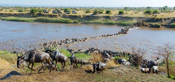 Wildebeest Herd Migration across the Mara River in Tanzania, Africa Wildebeest Migration Herd Crossing the Mara River  wildebeest running stock pictures, royalty-free photos & images