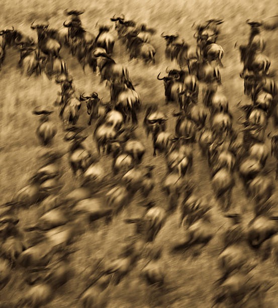 Wildebeest herd Wildebeest herd running through a field in a slow motion astract.  Taken in the Maasai Mara, Kenya. wildebeest running stock pictures, royalty-free photos & images