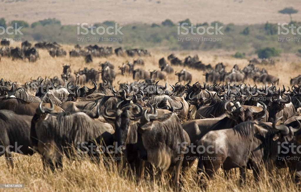 Wildebeest herd royalty-free stock photo