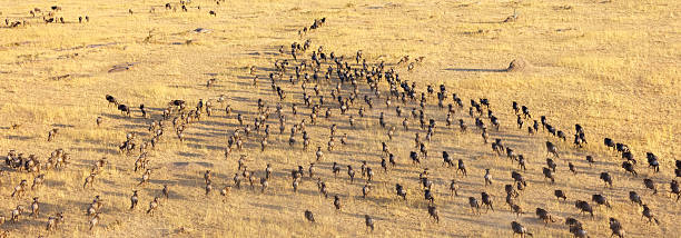 Wildebeest Herd, Serengeti National Park, Tanzania Africa Wildebeest Herd  wildebeest running stock pictures, royalty-free photos & images
