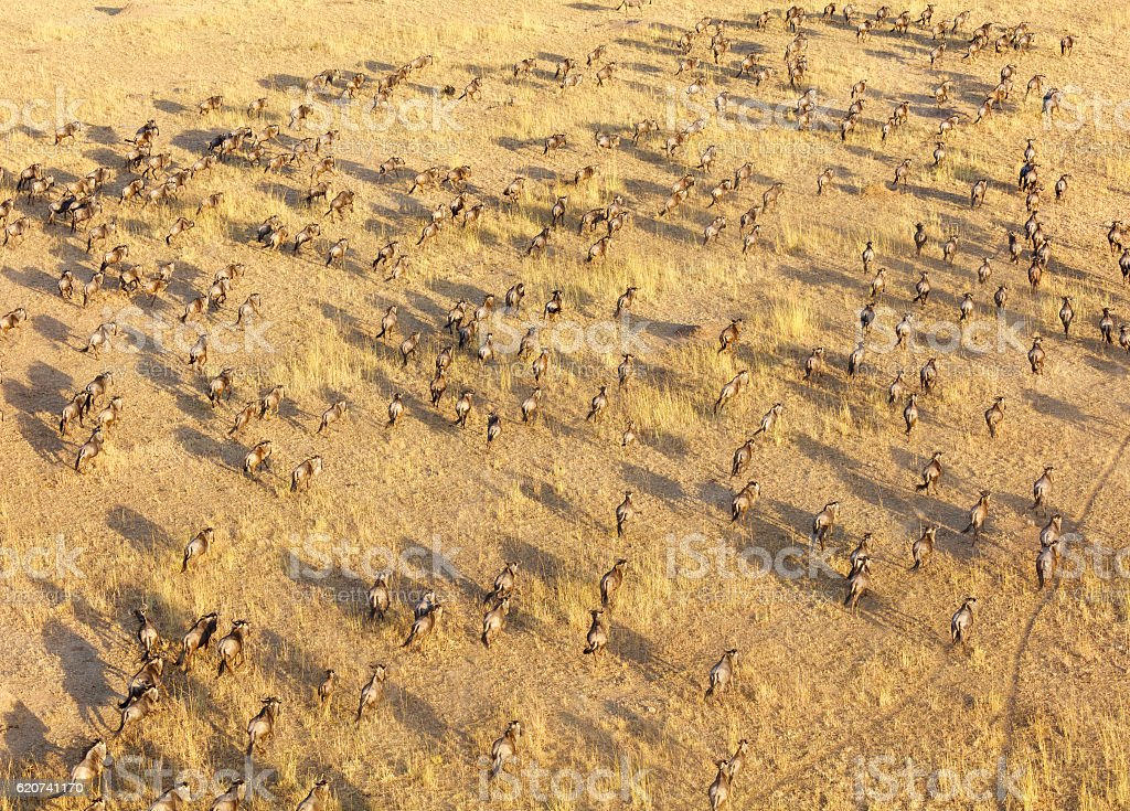 Wildebeest Herd, Serengeti National Park, Tanzania Africa stock photo