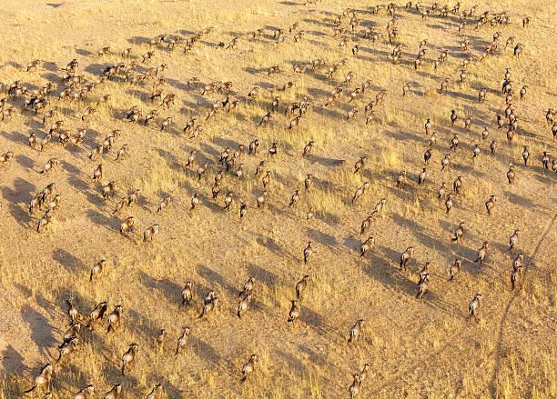 Wildebeest Herd, Serengeti National Park, Tanzania Africa stock photo