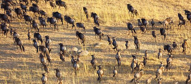 Wildebeest Herd, Serengeti National Park, Tanzania Africa Wildebeest Herd Connochaetes taurinus Serengeti, Tanzania Africa wildebeest running stock pictures, royalty-free photos & images