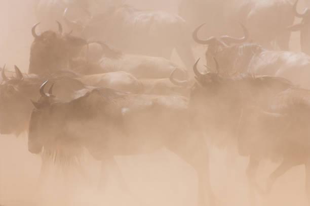 Wildebeest Herd stampeding in the dust  wildebeest running stock pictures, royalty-free photos & images