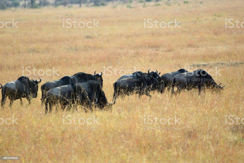Wildebeest in Kenya, Masai Mara stock photo