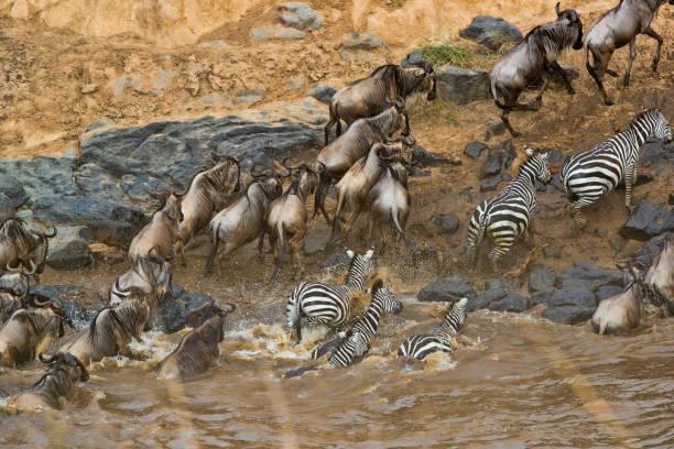 Wildebeest in Masai Mara stock photo