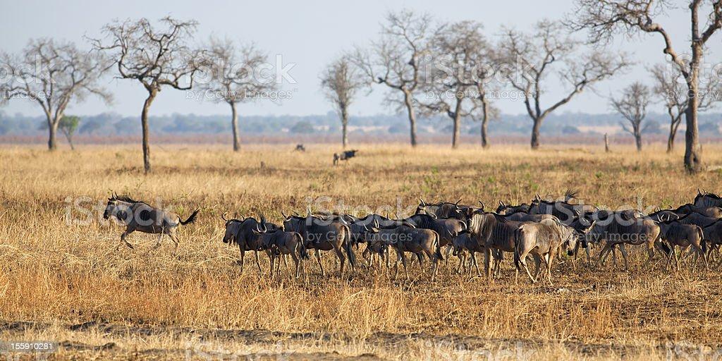 Wildebeest in Mikumi royalty-free stock photo