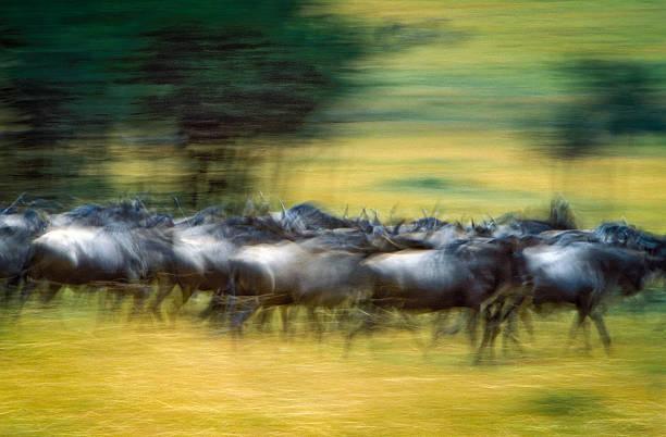 Wildebeest in Serengeti National Park, Tanzania. Panning image of wildebeest running in national park. wildebeest running stock pictures, royalty-free photos & images