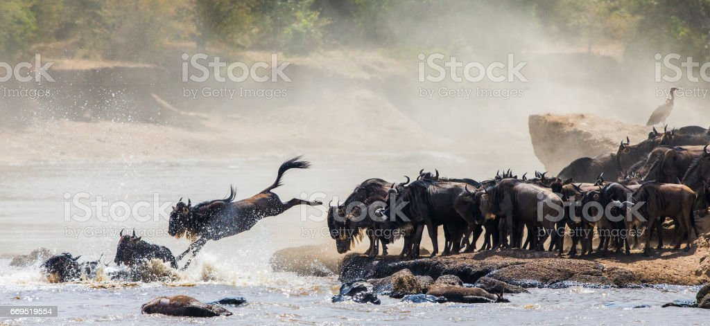 Wildebeest jumping into Mara River. stock photo