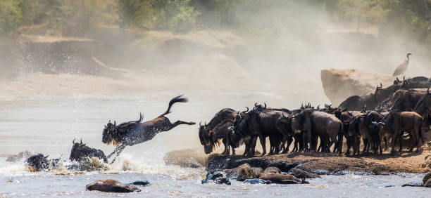 Wildebeest jumping into Mara River. Wildebeest jumping into Mara River. Great Migration. Kenya. Tanzania. Masai Mara National Park. An excellent illustration. masai mara national reserve stock pictures, royalty-free photos & images