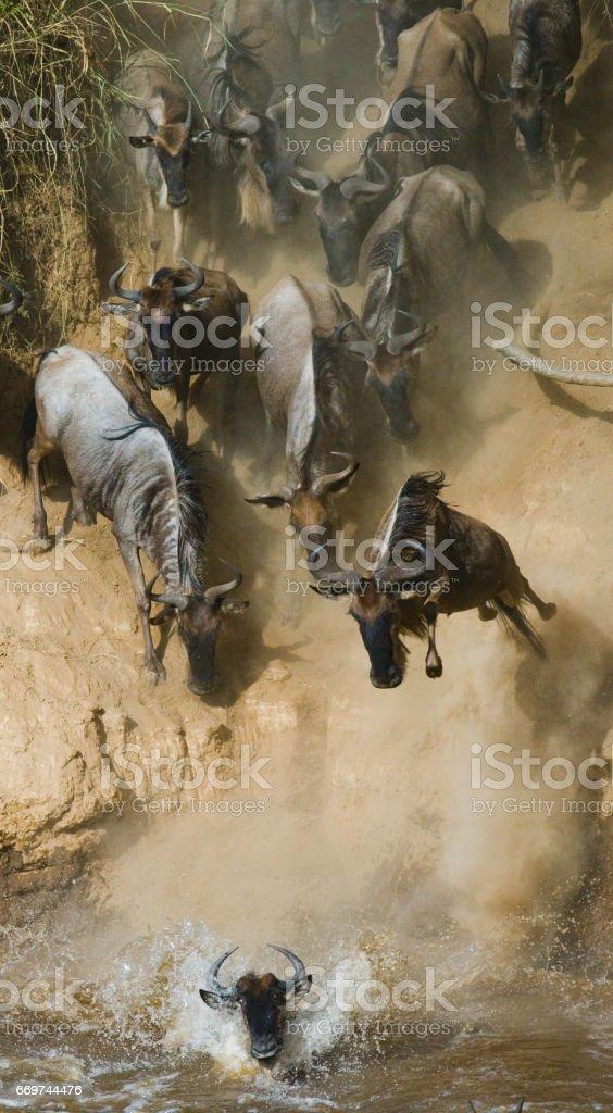 Wildebeest jumping into Mara River. stock photo