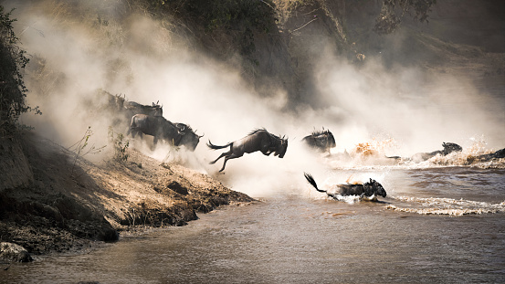istock Wildebeest leap of faith into the Mara River 918855102
