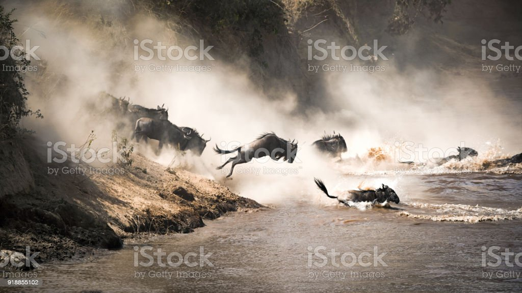 Wildebeest leap of faith into the Mara River stock photo
