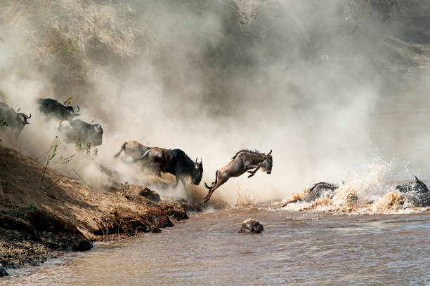 Wildebeest Leaping in Mid-Air Over Mara River Migrating wildebeest in mid-air leaping into the dangerous Mara River with dusty dramatic background wildebeest running stock pictures, royalty-free photos & images