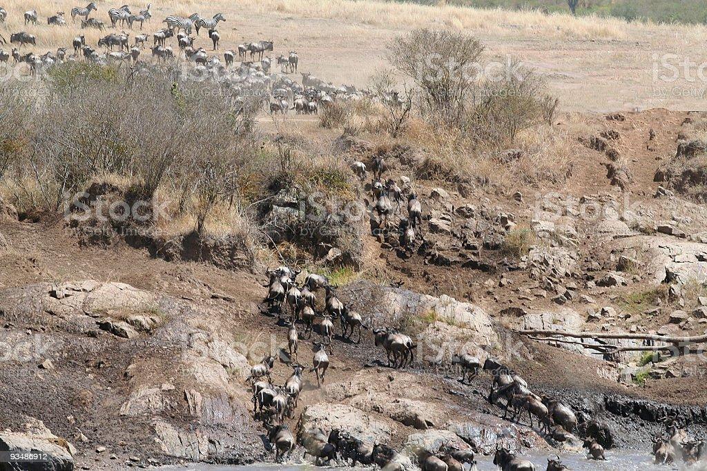 Wildebeest leaving Mara River royalty-free stock photo
