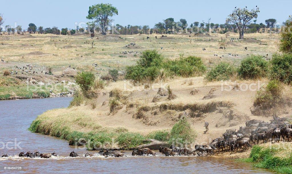 Wildebeest Migration across the Mara River, Tanzania Africa stock photo