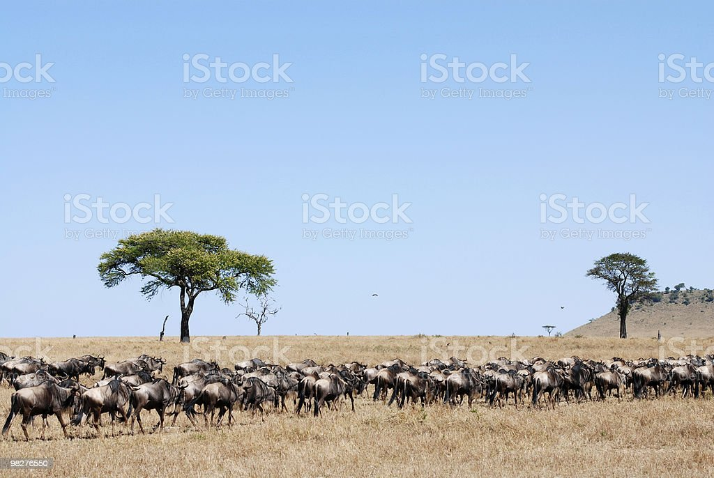 Wildebeest migration in africa royalty-free stock photo