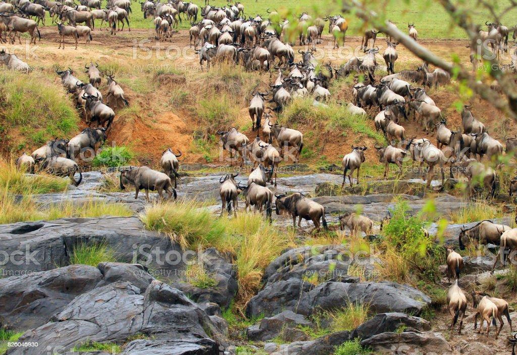 Wildebeest Migration in Kenya stock photo
