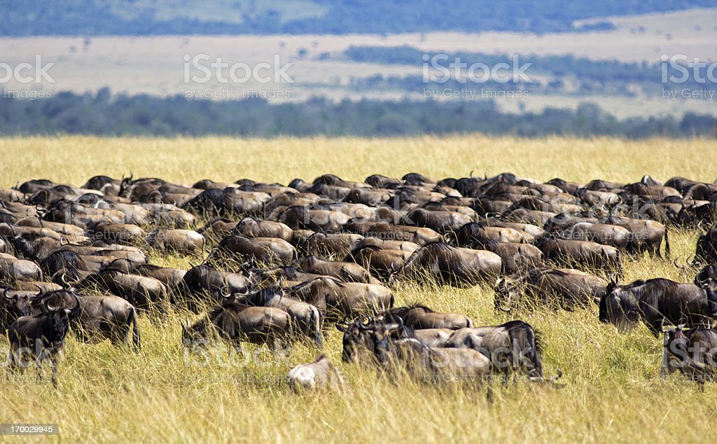 Wildebeest migration royalty-free stock photo