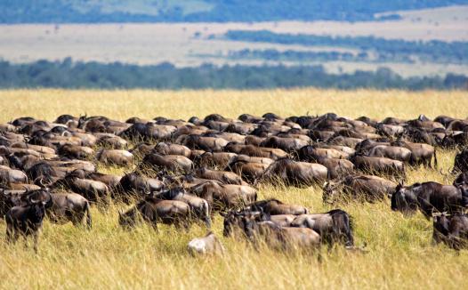 Wildebeest Migration Stock Photo - Download Image Now