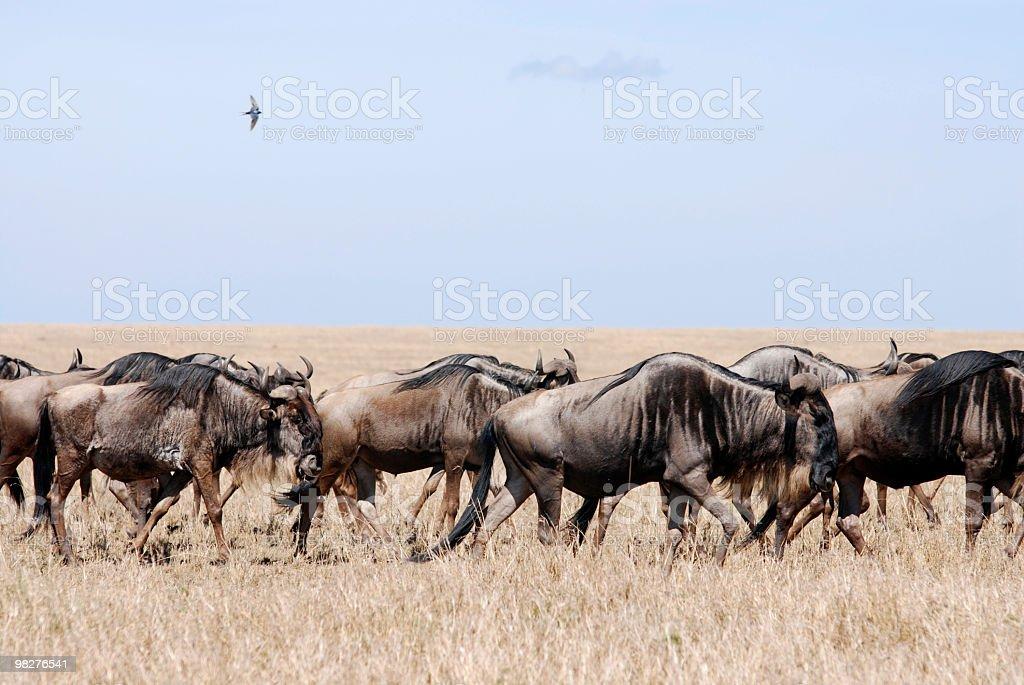 Migrazione degli gnu foto stock royalty-free