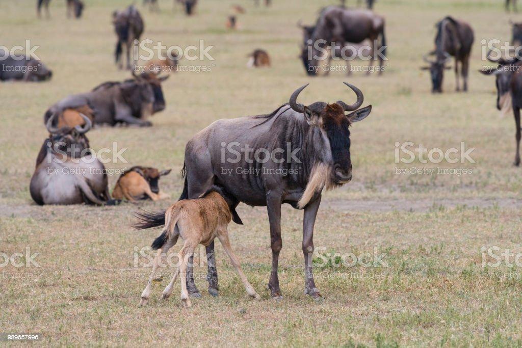 Gnus, Mutter Fütterung Baby, Afrika – Foto